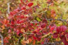 Abedul de la tundra Fondo natural del otoño Fotografía de archivo