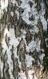 Abedul de madera de la textura Imagen de archivo