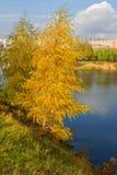 Abedul de oro en el banco del lago azul Imagen de archivo libre de regalías
