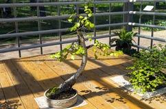 Abedul de plata Betula Pendula - bonsai en el estilo de Fotografía de archivo