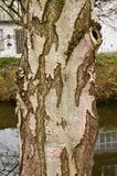 Abedul de plata Betula Pendula de la corteza de árbol Fotografía de archivo libre de regalías