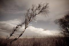 Abedul de plata en invierno Fotografía de archivo