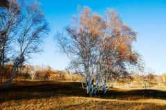 Abedul de plata en la puesta del sol del prado Fotografía de archivo libre de regalías