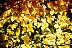 Abedul de plata siberiano de las hojas de otoño Imagen de archivo