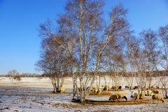 Abedul de plata y las ovejas en invierno Fotografía de archivo libre de regalías
