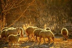 Abedul de plata y las ovejas en invierno Imágenes de archivo libres de regalías