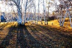 Abedul de plata y sombra en el prado Imagenes de archivo