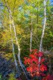 Abedul de Talll en otoño Fotografía de archivo