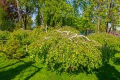 Abedul decorativo con la formación de una corona abajo en el parque sobre la hierba verde Foto de archivo libre de regalías
