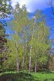 Abedul del árbol Imagen de archivo libre de regalías