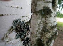 Abedul del árbol Fotos de archivo