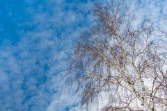 Abedul del árbol alto en azul con el cielo blanco Foto de archivo
