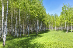 Abedul del árbol de hoja caduca (lat Betula) Imagen de archivo