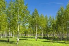 Abedul del árbol de hoja caduca (lat Betula) Fotografía de archivo libre de regalías