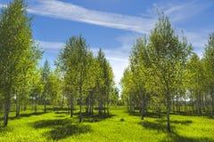 Abedul del árbol de hoja caduca (lat Betula) Fotos de archivo libres de regalías