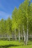 Abedul del árbol de hoja caduca (lat Betula) Imágenes de archivo libres de regalías
