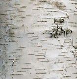 Abedul del árbol de la corteza Imagenes de archivo