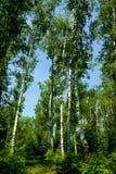 Abedul del árbol de la primavera Imágenes de archivo libres de regalías