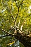 Abedul del árbol de las ramas con las hojas en la naturaleza Fotos de archivo