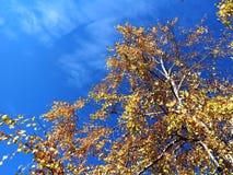 Abedul del árbol debajo del cielo azul Imagen de archivo
