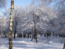 Abedul del árbol del invierno Foto de archivo libre de regalías
