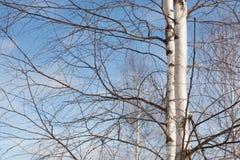 Abedul del árbol en el fondo del cielo azul al aire libre Fotografía de archivo libre de regalías