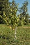 Abedul del árbol joven Foto de archivo