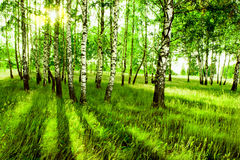 Abedul del bosque Foto de archivo libre de regalías