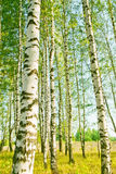 Abedul del bosque Imagen de archivo