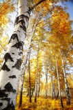 Abedul del bosque Fotos de archivo