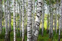 Abedul del bosque Fotografía de archivo libre de regalías