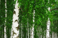 Abedul del bosque Fotos de archivo libres de regalías