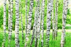 Abedul del bosque Imagen de archivo libre de regalías