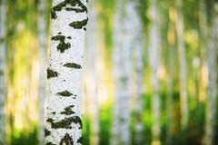 Abedul del bosque Foto de archivo