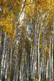 Abedul del bosque Autumn Gold Fotos de archivo