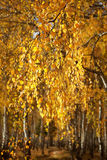 Abedul del bosque Autumn Gold Imagen de archivo libre de regalías