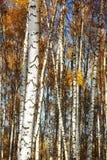 Abedul del bosque Autumn Gold Foto de archivo