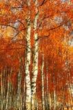 Abedul del bosque Autumn Gold Imágenes de archivo libres de regalías
