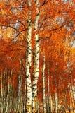 Abedul del bosque Autumn Gold Fotos de archivo libres de regalías