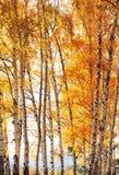 Abedul del bosque Autumn Gold Imagenes de archivo