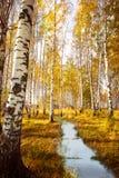 Abedul del bosque cerca de un río Imagen de archivo libre de regalías