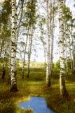 Abedul del bosque cerca de una charca Imagenes de archivo