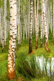 Abedul del bosque cerca de una charca Fotografía de archivo