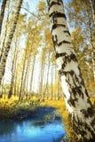 Abedul del bosque cerca de una charca Fotos de archivo libres de regalías