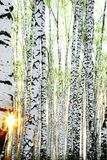 Abedul del bosque en luz del sol Fotos de archivo libres de regalías