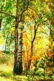 Abedul del bosque en luz del sol Fotografía de archivo