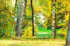 Abedul del bosque en luz del sol Imagen de archivo libre de regalías