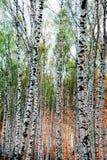 Abedul del bosque en luz del sol roja Fotos de archivo