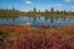 Abedul del enano rojo en otoño en el lago Fotografía de archivo