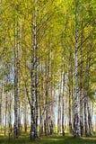 Abedul del fondo natural Imagen de archivo libre de regalías